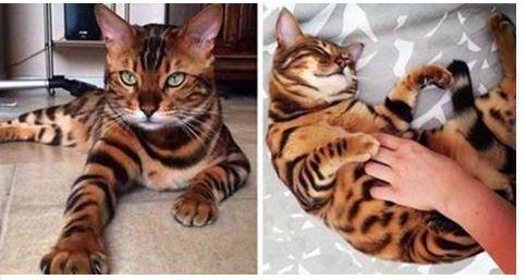 Esiste ed è l'unico esemplare al mondo: è il gatto del Bengala. (Entra e guarda il video)